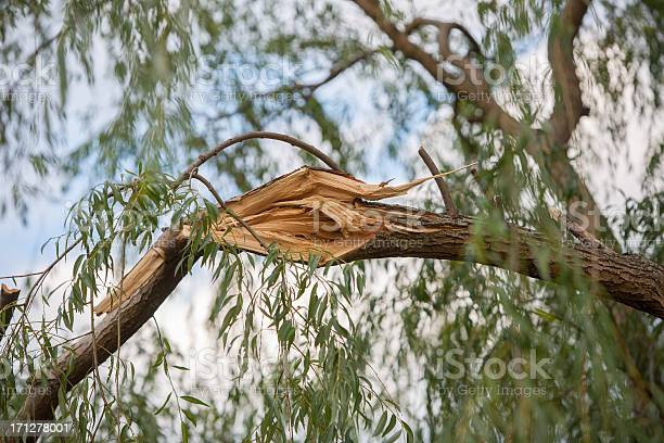 Photo of storm damaged willow tree branch