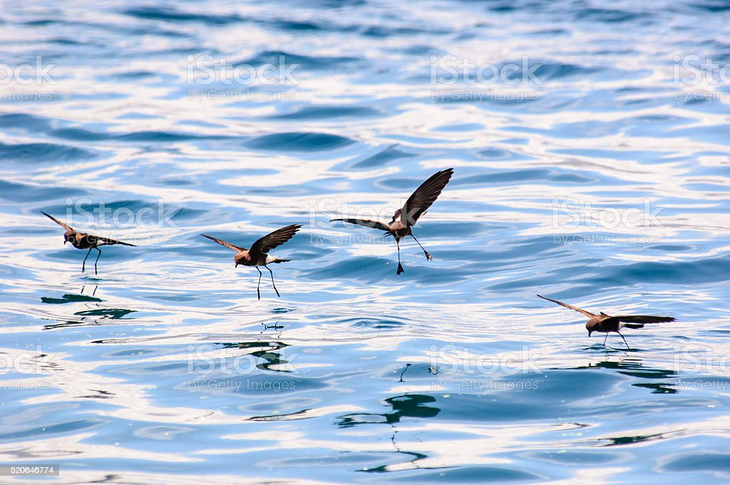 Storm Petrels and their reflections in the sea stock photo