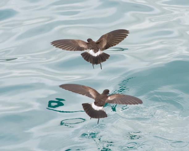 Océanite cul-blanc alimentation dans les Galapagos - Photo