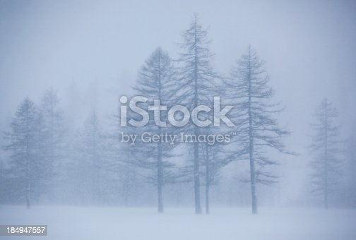 pines under a heavy snowstorm.