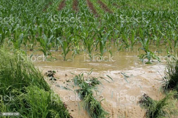 Storm Water In Corn Field - Fotografias de stock e mais imagens de Acidentes e Desastres