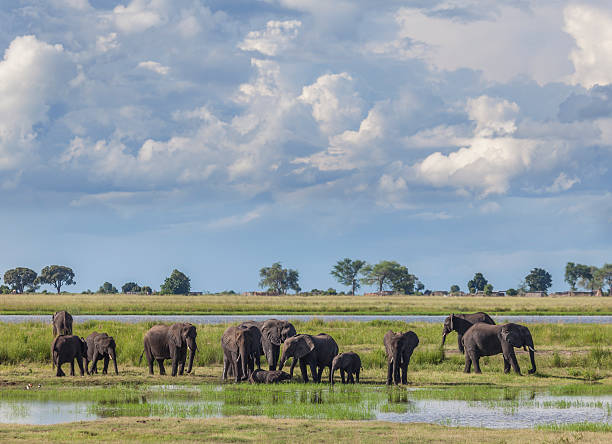Stormclouds over African Elephant group; Chobe N.P., Botswana, Africa