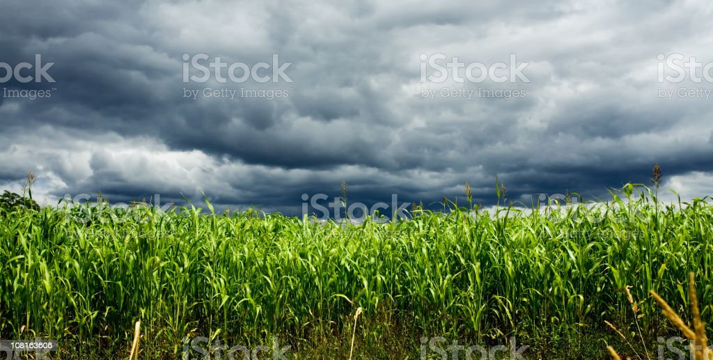 Stormy Corn Field stock photo