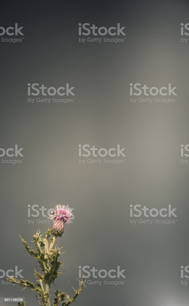Stormy Scottish Thistle stock photo