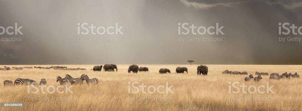 Stormy skies over the masai Mara with elephants and zebras stock photo