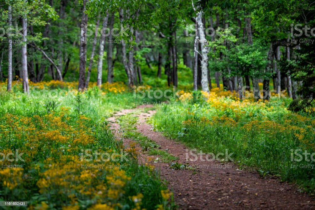 Story of the Forest trail in Shenandoah Blue Ridge appalachian mountains on skyline drive near Harry F. Byrd Visitor Center with yellow flowers and path - Royalty-free Appalachia Stock Photo