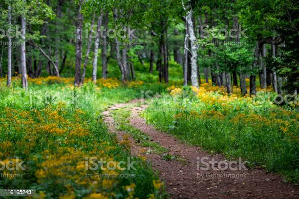 Story Of The Forest Trail In Shenandoah Blue Ridge Appalachian Mountains On Skyline Drive Near Harry F Byrd Visitor Center With Yellow Flowers And Path Stock Photo - Download Image Now