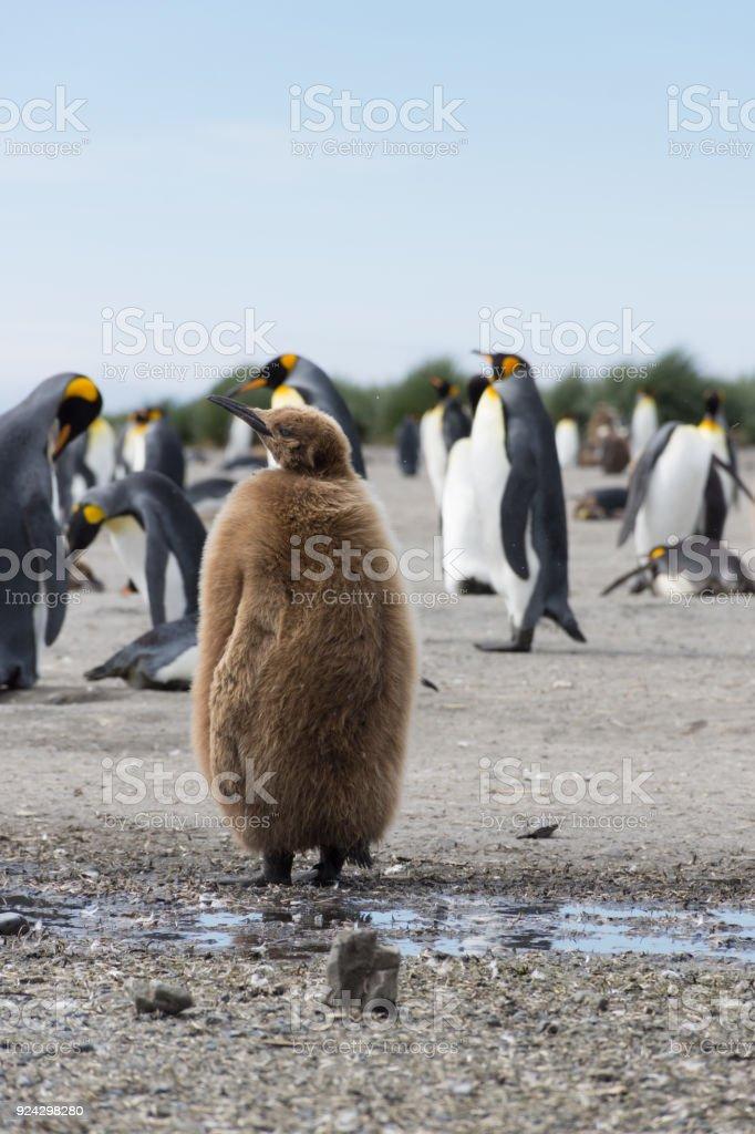 Stout Juvenile King Penguin stock photo