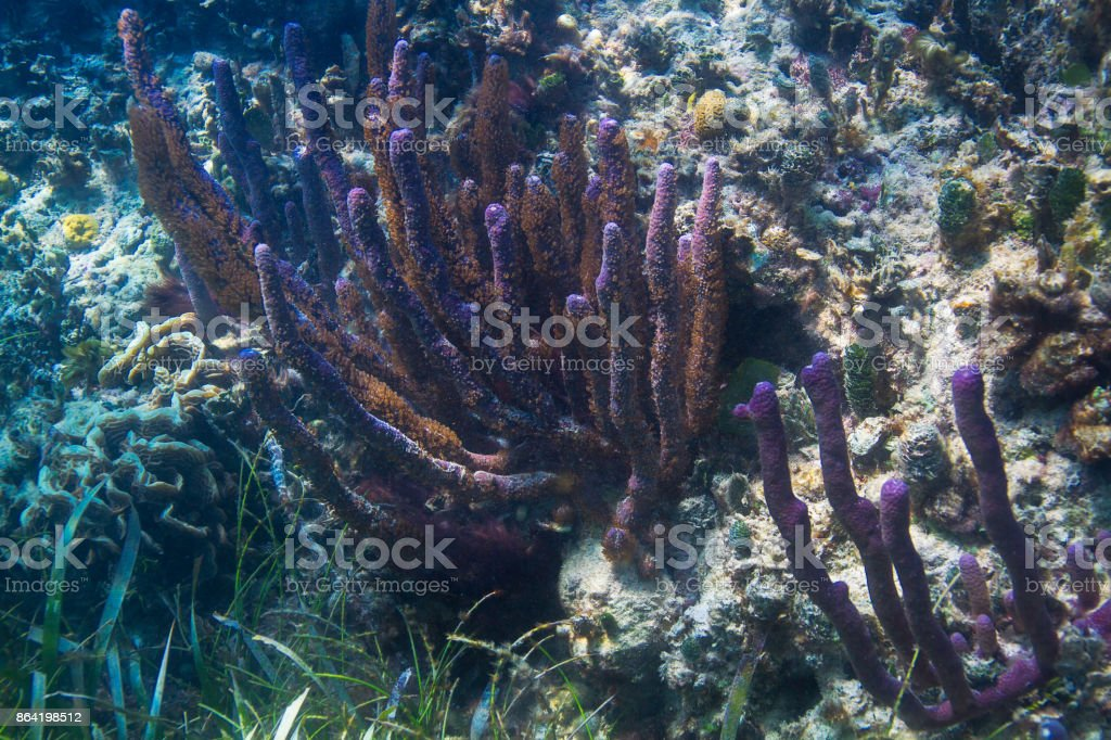 Stovepipe sponge group in coral reef royalty-free stock photo