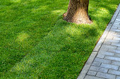 Straigh line of new freshly installed green rolled lawn grass carpet along stone pavement sidewalk at city park or backyard on bright sunny day. Green Gardening landcaping service.