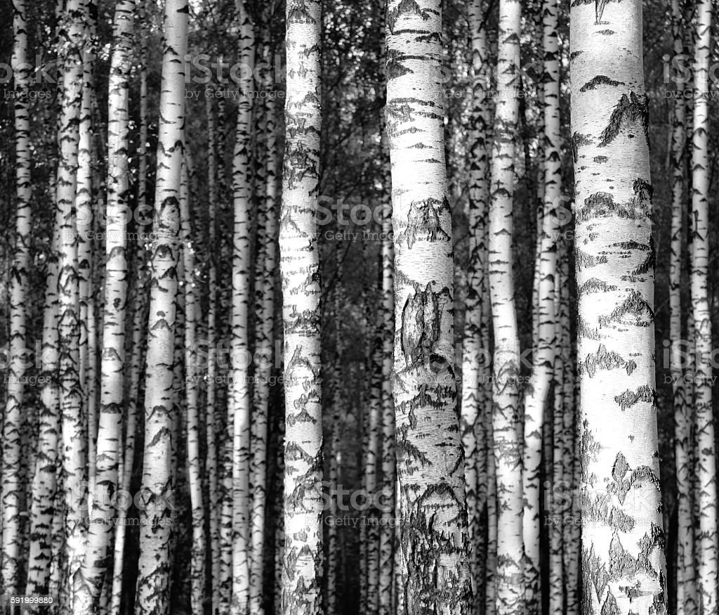 Straight birch trunks black and white stock photo