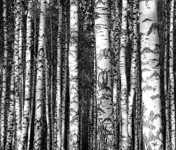 Straight birch trunks black and white – Foto