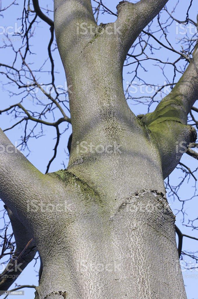 Straight grey trunk of common beech tree royalty-free stock photo