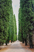 Straight lane with old high cypress plants, world wide symbol of death and mouring