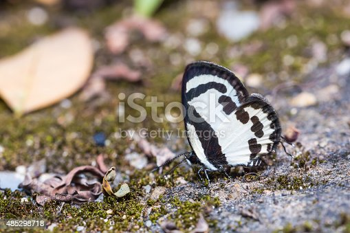 Close up of Straight Pierrot (Caleta roxus) butterfly puddling on the ground in nature