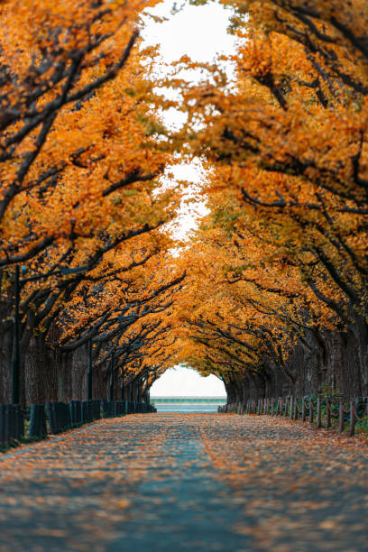 A straight road lined with ginkgo trees during autumn in Tokyo, Japan