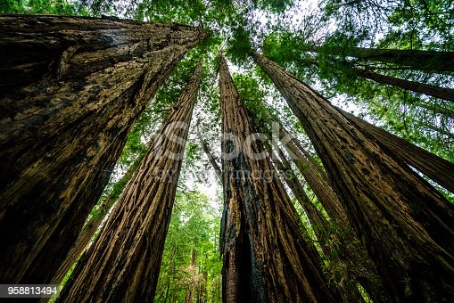 Huge thick tall trunks of the California Redwoods some of the oldest living creatures on our planet - Straight uprising Redwood Trees in John Muir Forest of San Francisco , California , USA national park