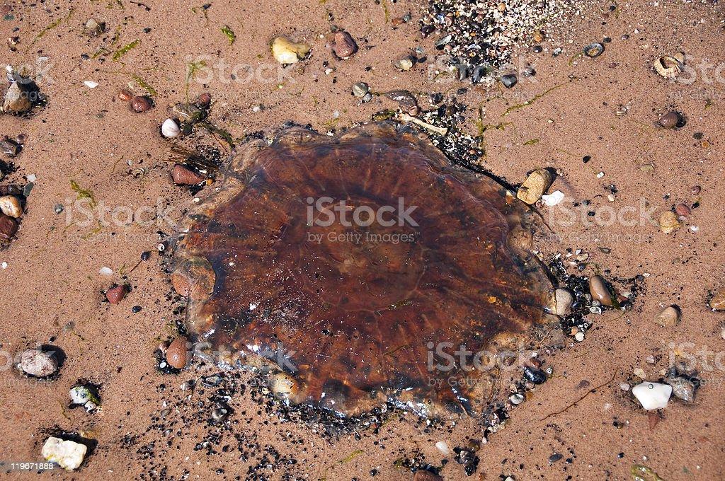 Stranded jellyfish royalty-free stock photo