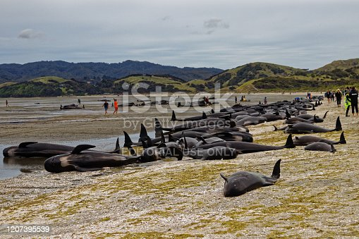 Farewell Spit, Tasman/New Zealand - February 10, 2017: Stranded and dead pilot whales on Farewell Spit, New Zealand.