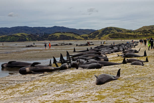 Stranded pilot whales beached on Farewell Spit at the northern tip of New Zealand's South Island Farewell Spit, Tasman/New Zealand - February 10, 2017: Stranded and dead pilot whales on Farewell Spit, New Zealand. aground stock pictures, royalty-free photos & images