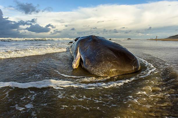 stranded sperm whale - grundstött bildbanksfoton och bilder