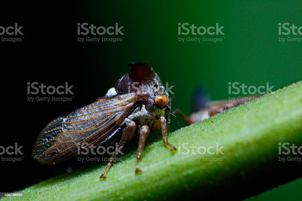 Strang treehoppe stock photo