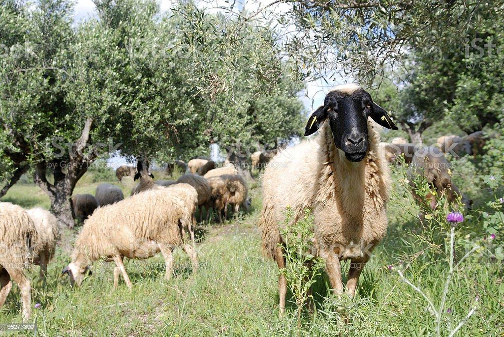 strange black head sheep with white body royalty-free stock photo