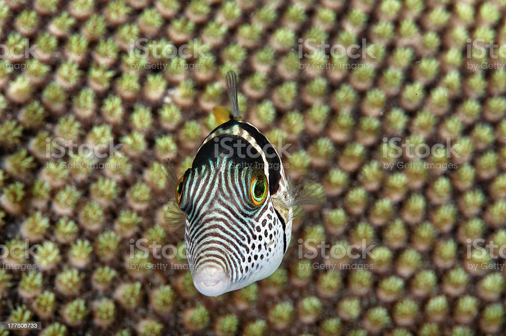 Strange fish royalty-free stock photo