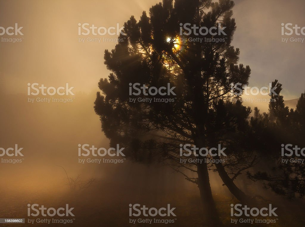 strange looking tree in a dark forest with fog royalty-free stock photo