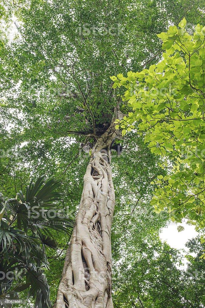 Strangler fig stock photo