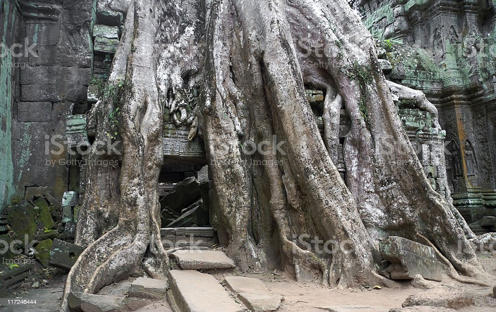 Strangler fig tree, Angkor Wat, Cambodia stock photo