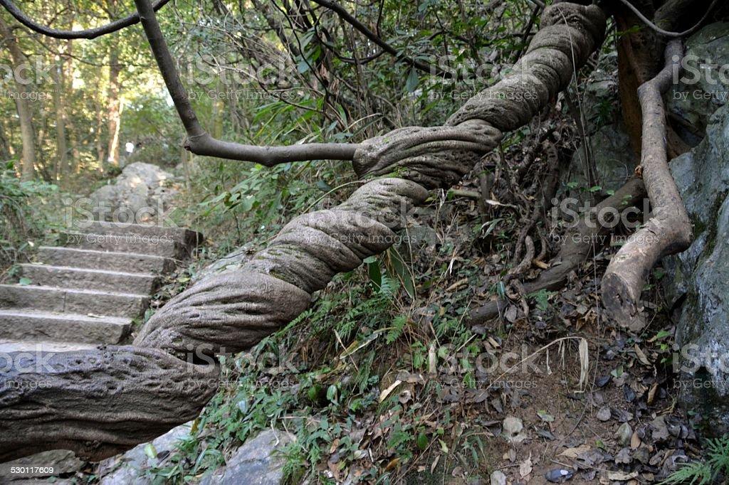 Strangler Fig tree stock photo