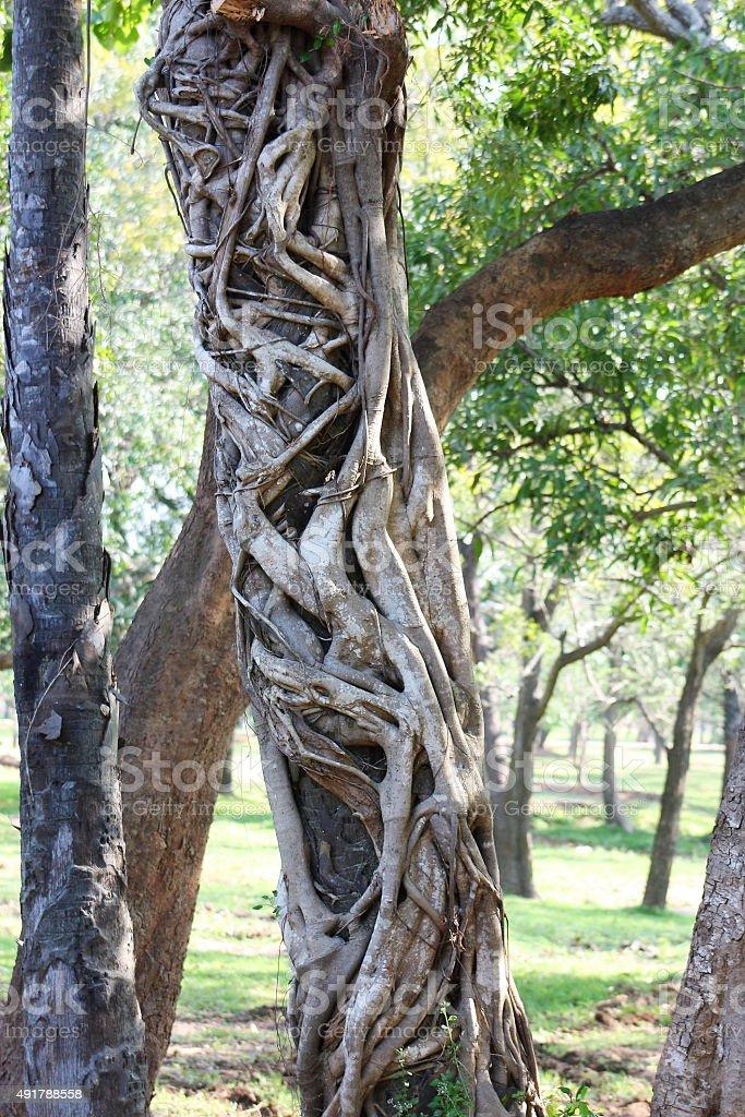 Strangler tree in Sri Lanka stock photo