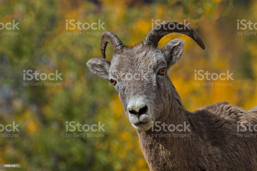 Strategic interest shown by bighorn sheep stock photo
