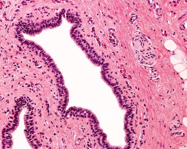 Stratified columnar epithelium stock photo
