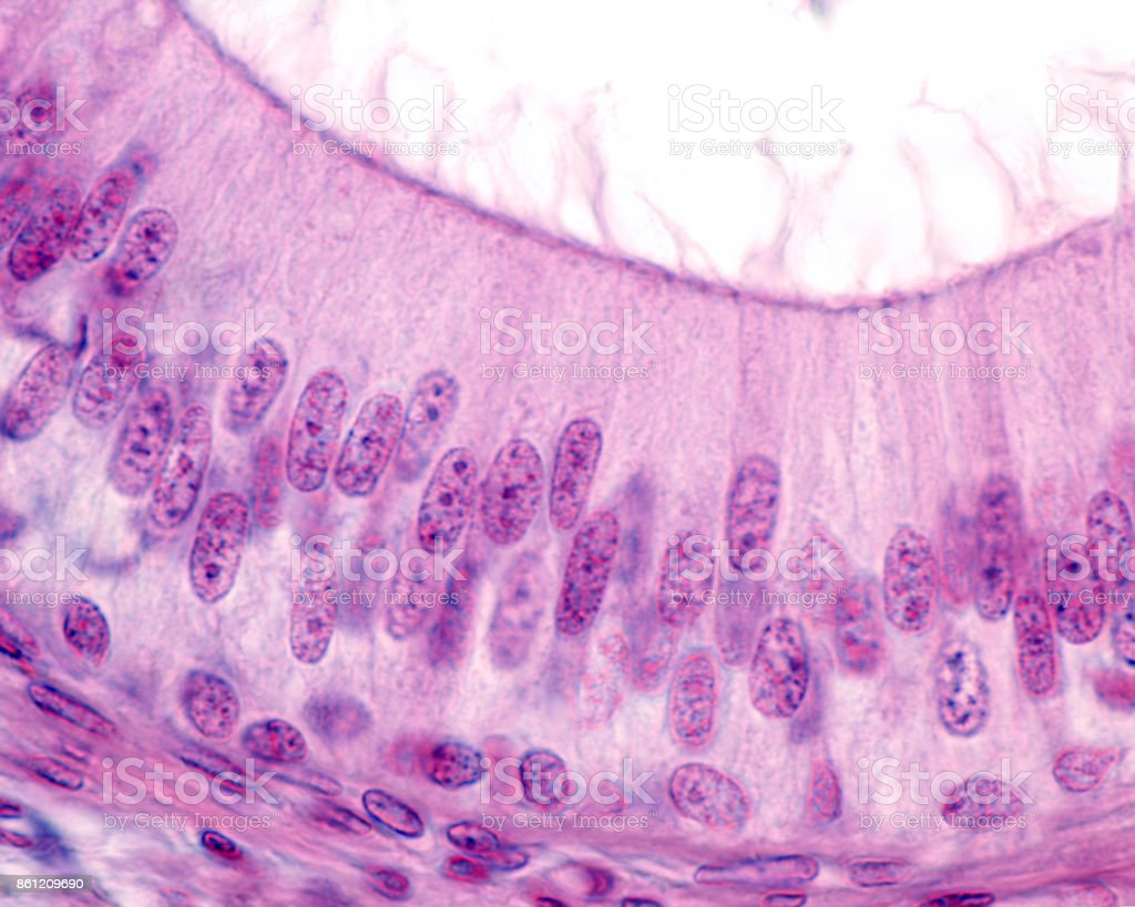 Stratified columnar epithelium stock photo