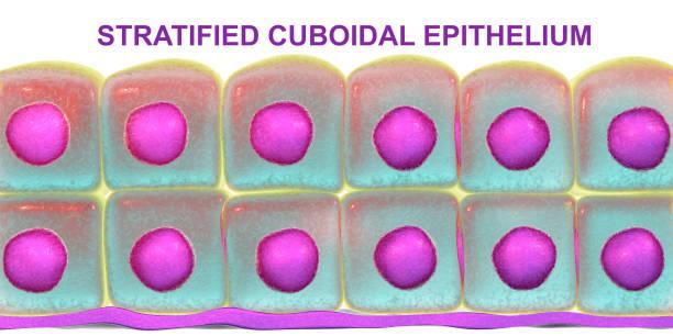 Stratified cuboidal epithelium stock photo