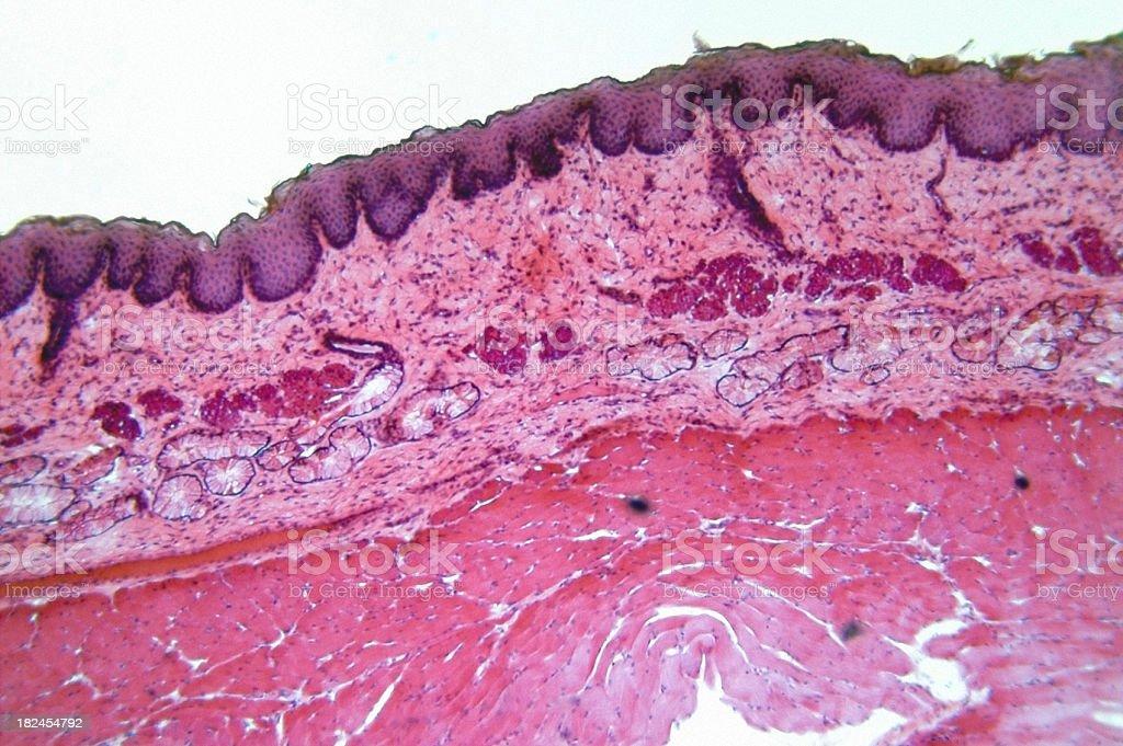 Stratified Squamous Epithelium royalty-free stock photo