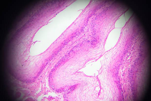 Stratified squamous epithelium view in microscopy stock photo