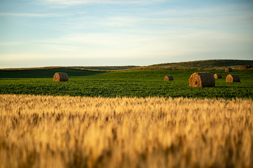 Straw barrels and wheat field at sunrise in Mott, ND, United States