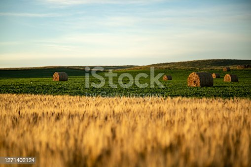 istock Straw barrels and wheat field at sunrise 1271402124