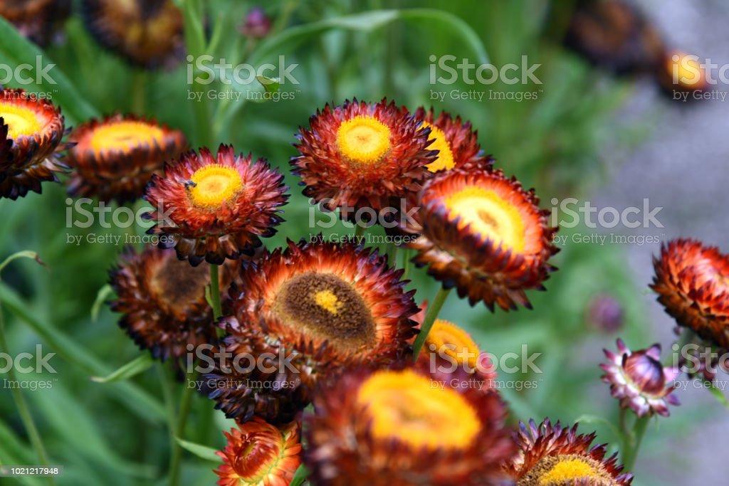 Straw Flowers stock photo