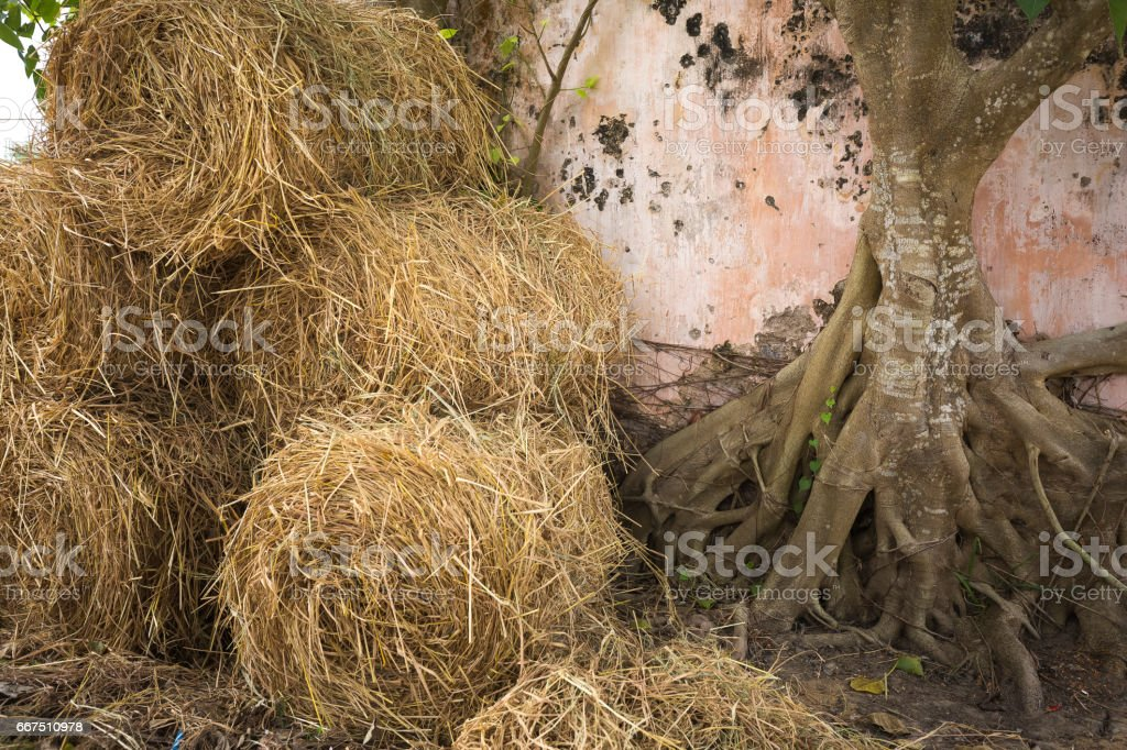 straw harvested in the countryside in Viet Nam foto stock royalty-free