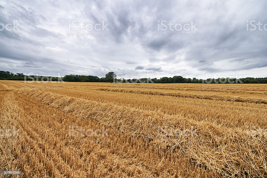 Straw in rows stock photo