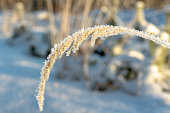 Close up of a hanging straw of yellow grass covered with frost crystals, glowing in bright sunlight