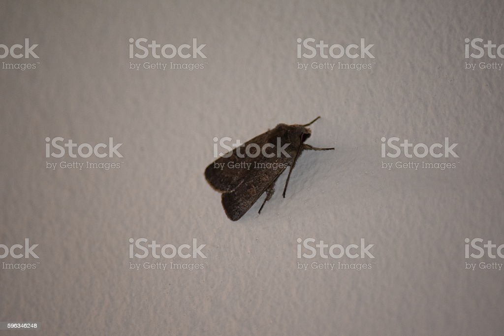 Straw underwing, Thalpophilia matura royalty-free stock photo