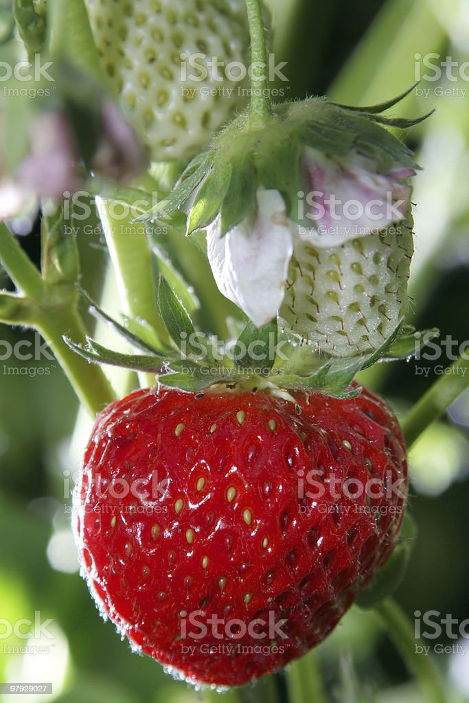 Strawberrie in garden royalty-free stock photo