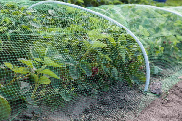 Strawberries bed covered with protective mesh from birds Strawberries bed covered with protective mesh from birds, protection of strawberry harvest in the garden pest stock pictures, royalty-free photos & images