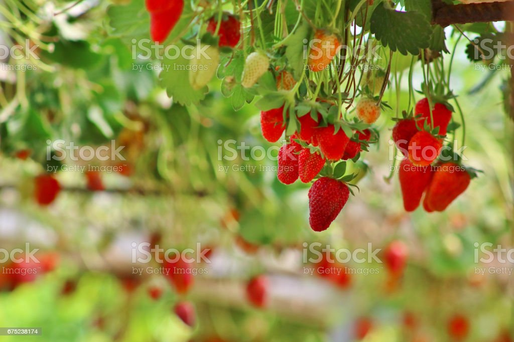 Strawberries close-up royalty-free stock photo