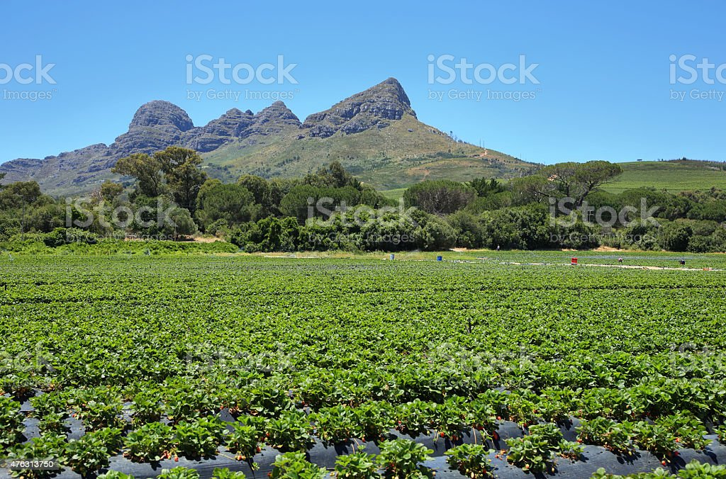 Strawberries field near Somerset West stock photo
